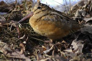 Photo of American woodcock