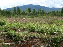 Photo of newly harvested block creating early successional habitat for woodcock