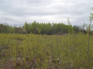 Photo of aspen shoots in woodcock area