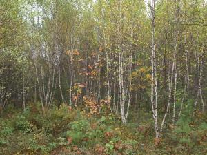 Stands of gray birch and other hardwoods provide feeding habitat for woodcock on Freedom Town Forest