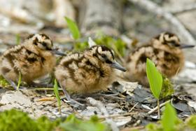 Woodcock chicks in brood-rearing habitat