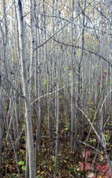 Photo of dense aspen used as woodcock habitat