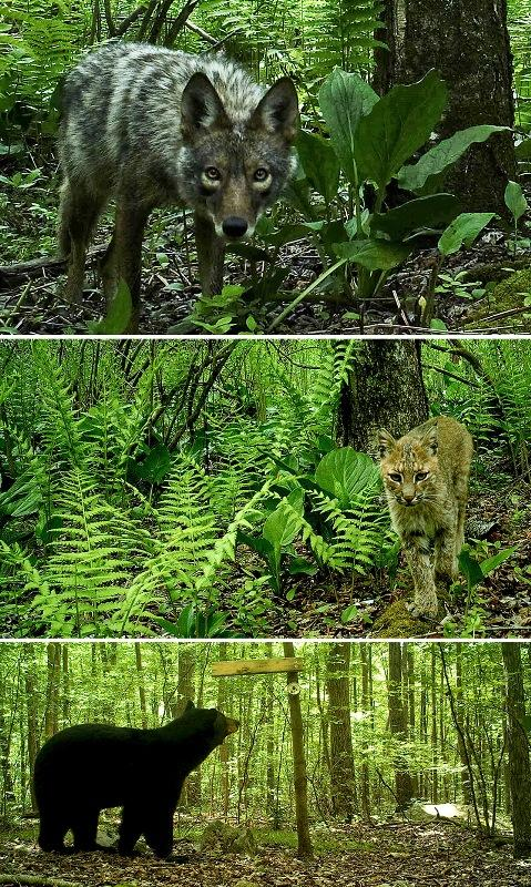 Different Types Of Cameras >> Smile! You're On Canid Camera   Woodcock population and young forest habitat management ...