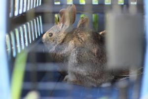 New England cottontail in transport cage