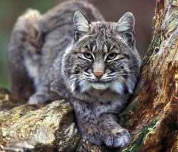 Bobcats hunt for rodents, hares, and other prey  in regrowing clearcuts.