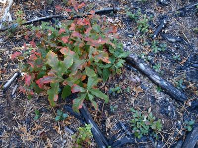 scrub oak regrowth