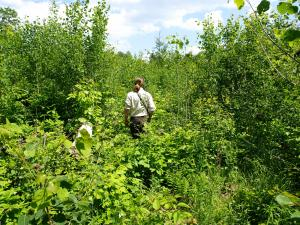 biologist checks on aspen regrowth at Umbagog NWR