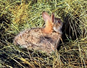 New England cottontail in grass