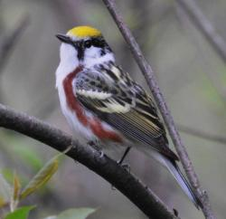 Chestnut-sided warblers also use young-forest habitat.