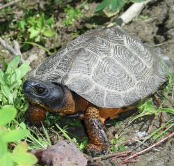 Wood turtles need young forest habitat.